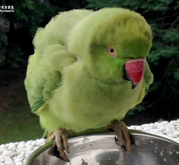 冷天 與綠鸚鵡相遇
