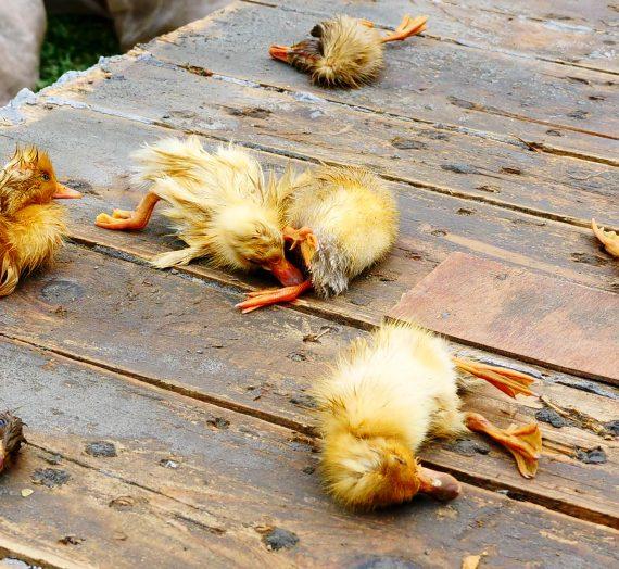 目睹一隻鴨子的死亡